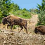 Încă 10 zimbri în Rezervația de la Armeniș