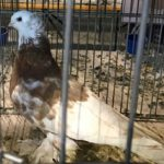 Porumbel de 10.000 de euro, cumpărat la Caransebeş!