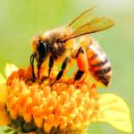 Albina, o insectă solară, simbol al cunoașterii și perfecțiunii