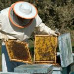 Apicultorul – îmblânzitorul şi prietenul albinelor