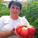 Roşie-gigant la Constantin Daicoviciu